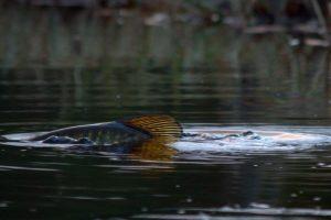 Lekende gjedde i Løpsjøen.