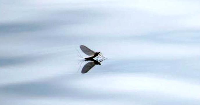 Døgnflue 1